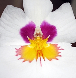 Fairy Orchid cropped 1 J